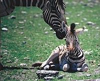 Zebra Mare & Foal